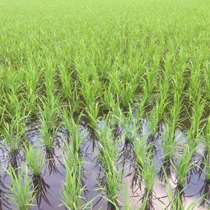 rice-paddy-in-june
